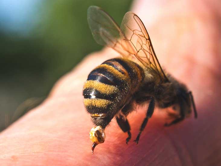 Vì sao ong mật sẽ chết sau khi chích?