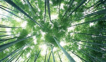 Tại sao loài tre lại không phát triển to bề ngang như các loại cây khác?