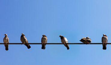 Vì sao chim đậu trên dây điện mà không bị điện giật?