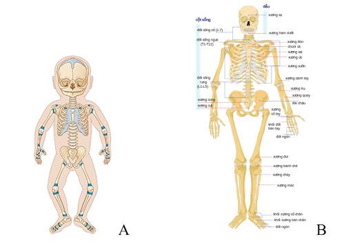 Tại sao khi trưởng thành số xương của con người lại ít đi?