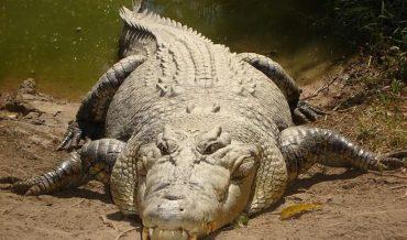 Vì sao cá sấu có thể giết chết kẻ thù kể cả khi ngủ?