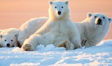 Da Của Gấu Bắc Cực Có Màu Gì? Bộ Lông Có Thực Sự Màu Trắng?
